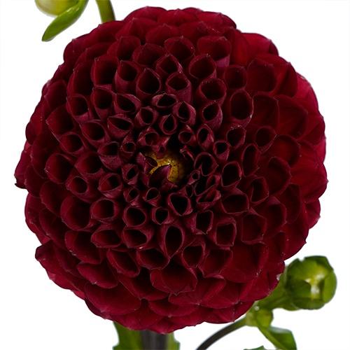 Rusty Red Honeycomb Dahlia
