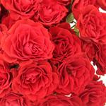 bulk red spray roses