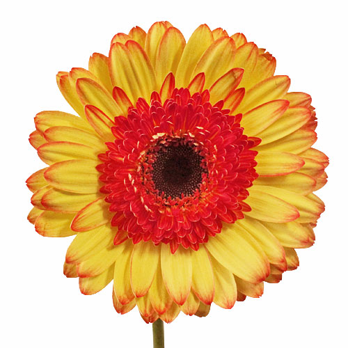 Oopsie Daisy Gerber Daisy Flowers