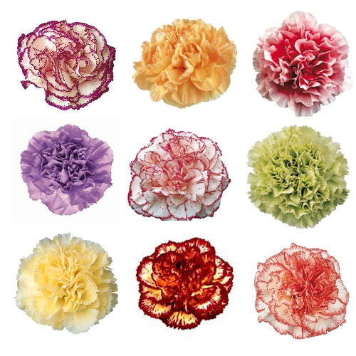 Mixed Color Novelty Carnation Flowers