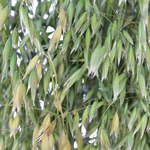 Wedding greenery wholesale oat greens filler flowers sold near me