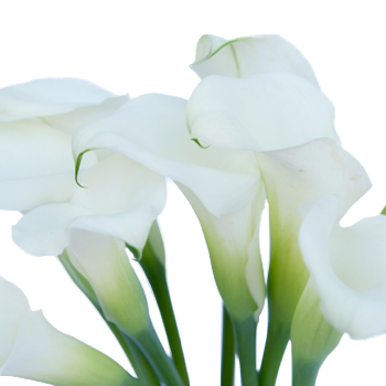 Crystal White Mini Calla Lily Flower