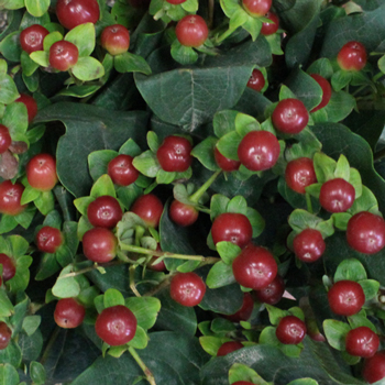 Antique Burgundy Designer Hypericum Berries