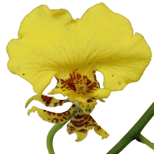 Oncidium Orchids Yellow Flower