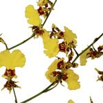 Orchids Buy Bulk Oncidium FREE SHIPPING
