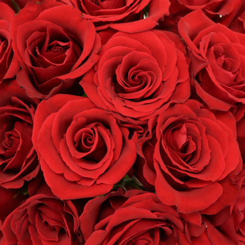 Plush Red Sweetheart Roses