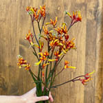 Wholesale Kangaroo Paw Orange Flower