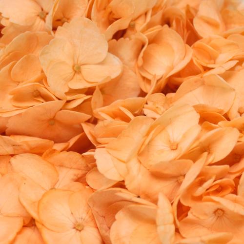 Hydrangea Peach Enhanced Flower
