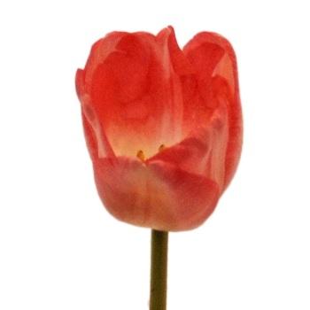 Tulip Salmon Orange and Cream