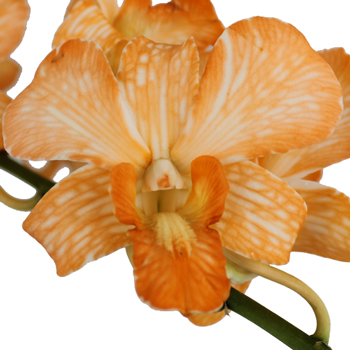 Orange Dendrobium Loose Orchid Blooms