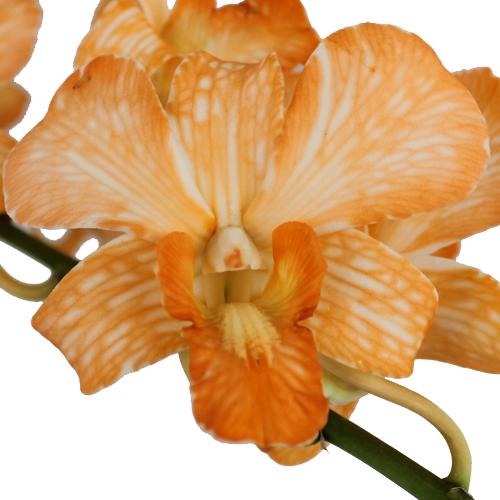 Orange Dendrobium Orchids