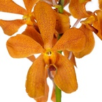 Fresh Cut Orange Mokara Orchids