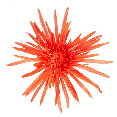 Melon Orange Airbrushed Spider Flower