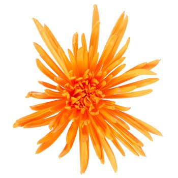 Orange Crush Airbrushed Spider Mum