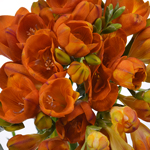 Bulk Orange Freesia Flower