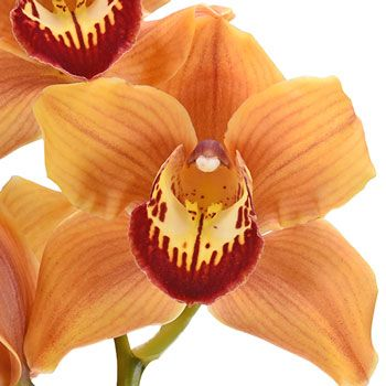 Wholesale Cymbidium Orchids Orange