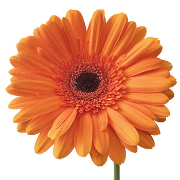 Orange Mette Gerbera Daisy