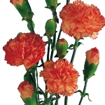 Bulk Orange Mini Carnation Flowers