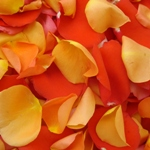 Orange Rose Petals Real