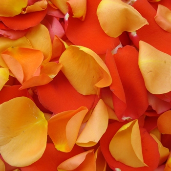 Orange Fresh Rose Petals