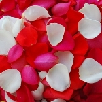 Bright Fresh Rose Petals for a wedding