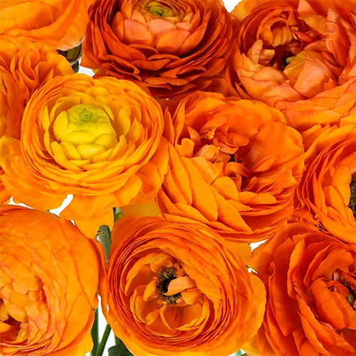 Orange Crush Ranunculus