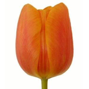 Orange Bulk Tulips