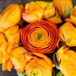 Orange Ranunculus Wholesale Flower Upclose