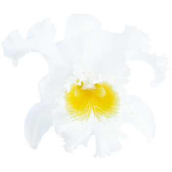 Cattleya White Orchid