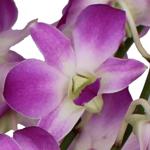 Purple Wholesale Dendrobium Orchids Bloom