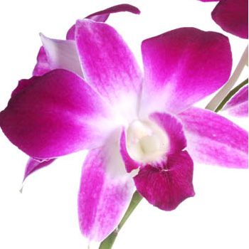 Bombay Fresh Double Orchid Lei