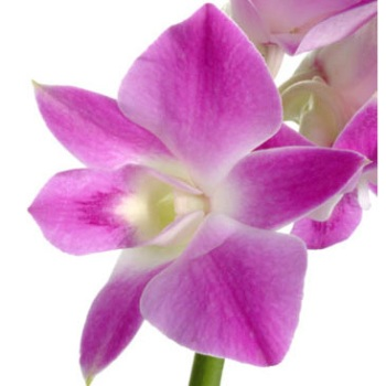 Purple Dendrobium Fresh Orchid Lei