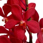 Fresh Cut Ruby Red Mokara Orchids