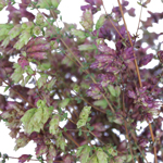 Wedding greenery fresh red oregano filler flowers sold near me