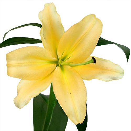 Pollen Yellow Corcovado Oriental Lily