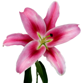 Very Berry Pink Oriental Lily