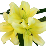 Lime Yellow Oriental Lily Flower