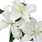 White Sibera Oriental Lilies