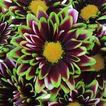 Puma Novelty Daisy Farm Mix Tinted Flower