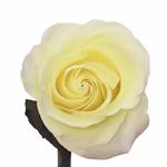Novelty Rose Hocus Pocus
