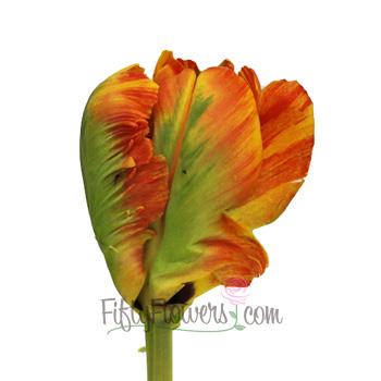 Flaming Paradise Parrot Tulip