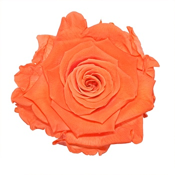 Preserved Peach Rose