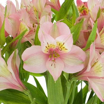Tickled Pink Wholesale Peruvian Lilies