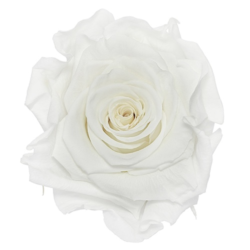 Preserved Pure White Rose