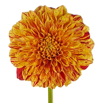 Yellow with Red Brushstrokes Dahlia Flower