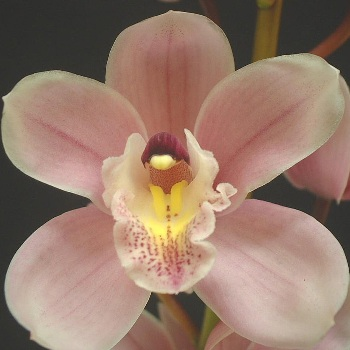 Mini Cymbidium Orchids Romantic Pink
