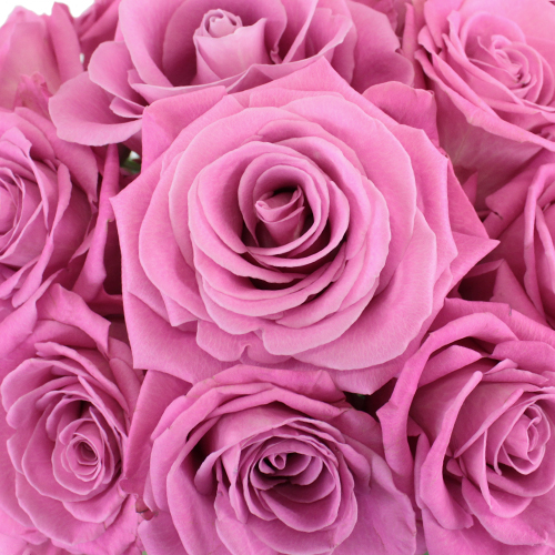 Bridal Pink Gem Rose