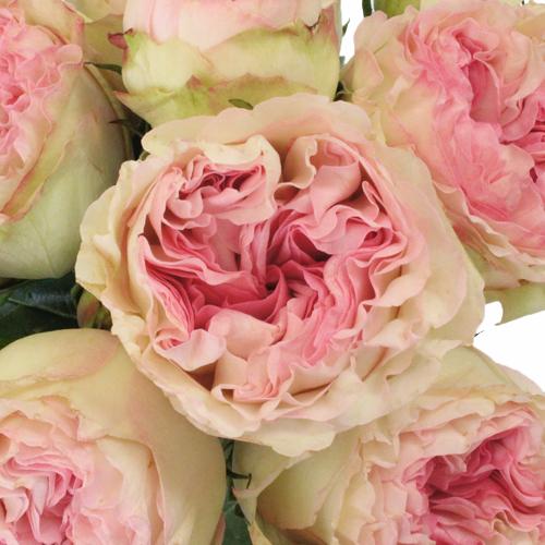 Garden Rose Blushing Ruffles