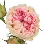 Garden Rose Jahr White and Pink Flower