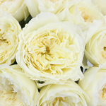 Patience Ivory Cream David Austin Garden Rose
